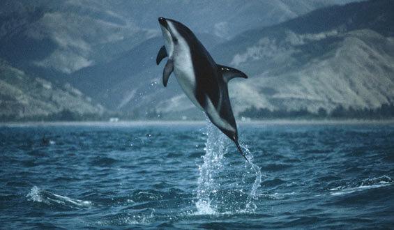 dusky-dolphin2-565